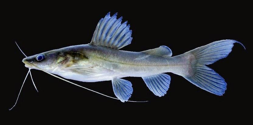 Dinas Perikanan Tebar 70 Ikan Baung Kkp News