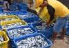 seorang nelayan dengan ikan hasil tangkapannya di tempat pelelangan ikan.