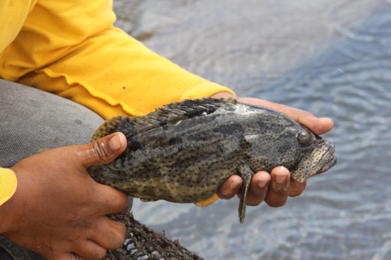 Pembudidaya Di Kepulauan Natuna Ekspor Ikan Kerapu Hidup Ke Hongkong Kkp News