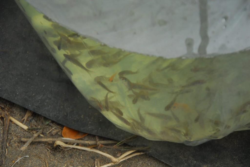 Benih ikan yang akan ditebar untuk restocking (Foto: KKP)