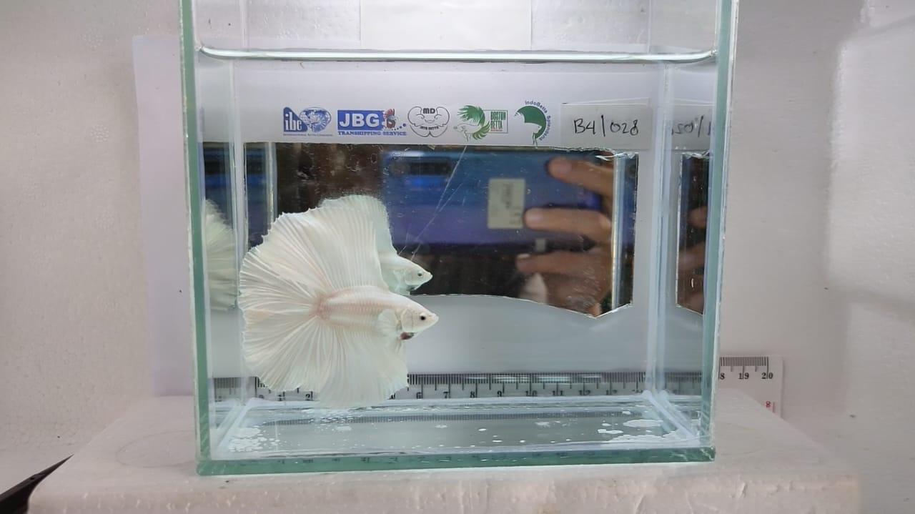 Kkp Dukung Kontes Ikan Cupang Virtual Kkp News