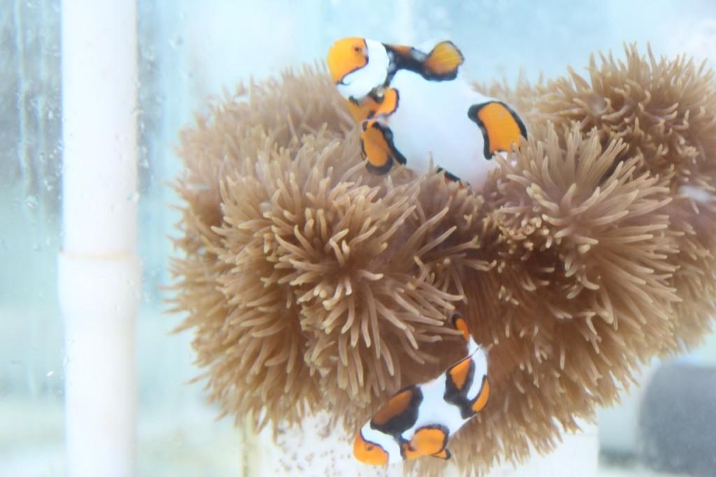 Ikan nemo